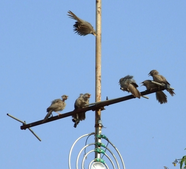 Birds in disagreement (Vadodara, India, April, 2007)